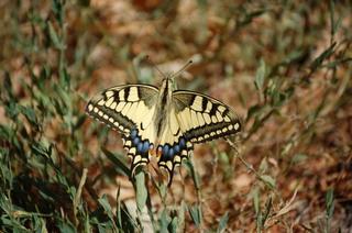 Schmetterling 1 - Schmetterling, Tagfalter, Schwalbenschwanz