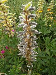 Fruchtstand der Lupine - Lupinen, Wolfsbohne, Schmetterlingsblütler, Hülsenfrüchtler, Lupine, Schoten, Schote