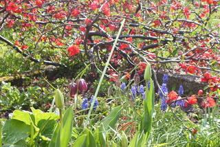 Tulpe und Schachbrettblume - Tulpe, Traubenhyazinthe, Tulpen, Hyazinthen, Knospe, Blüte, Frühblüher, Beet, Blumen, viele, blühen, Frühling, japanische Zierquitte, rot, Pflanzengemeinschaft, Garten