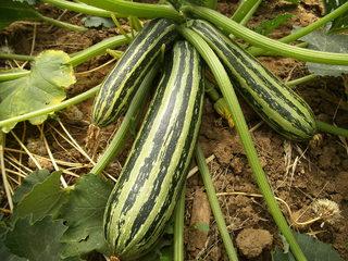 Zucchini - Zucchini, Zucchinipflanze, Blüte, Fruchtansatz, Gemüsekürbis, Gurkenkürbis, Kürbis, Kürbisgewächs, Blätter, Pflanze, Gartenpflanze