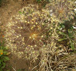 Samen Zierlauch - Alliceae, Lauchgewächse, Kugel, Staude, Knollenpflanze, Bienenweide, Samen, Gartenkugel-Lauch, Zierpflanze