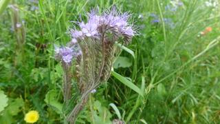 Phacelia - Phacelia, Raublattgewächs, Bienenweide, Bienenfreund, Büschelschön, Büschelblume, Gründungung