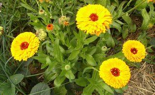 Ringelblumen - Ringelblume, Garten-Ringelblume, Korbblütler, Heilpflanze, Calendula, Blütenstand