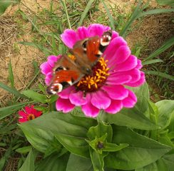 Tagpfauenauge - Tagpfauenauge, Insekten, Schmetterlinge, Edelfalter, Fleckenfalter, Inachis io