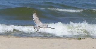 Möwe  - Möwe, Wasservogel, Vogel, fliegen, Mantelmöwe