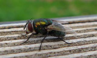 Goldfliege #1 - Insekten, Fluginsekt, Zweiflügler, Sechsfüßer, Fliege, Flügel, Hautflügel, Netzaugen, Körperteile, Goldfliege, Lucilia sericata