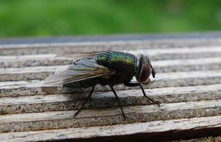 Goldfliege #2 - Lucilia sericata, Insekten, Fluginsekt, Zweiflügler, Sechsfüßer, Fliege, Flügel, Hautflügel, Netzaugen, Körperteile, Goldfliege