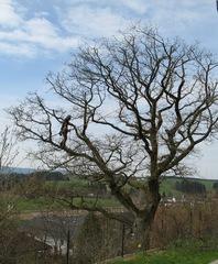 Baumpfleger   #1 - Eiche, Baumpflege, Baumpfleger, anseilen, Sicherheit, Baum, Ast, klettern, schneiden, sägen