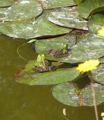 Teichfrösche - Frosch, Teichfrosch, Wasserfrosch, Rana esculenta, Teich, Wasser, Amphibie, Tarnung, tarnen, Seerose, zwei
