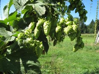 Hopfenblüten - Hopfen, Hanfgewächs, Bier, Bierbrauen, Arzneipflanze, Blütengewürz, Dolden, Schlingpflanze