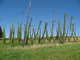 Hopfenfeld - Hopfen, Hanfgewächs, Bier, Bierbrauen, brauen, Arzneipflanze, Blütengewürz, Dolden, Schlingpflanze, Hopfenstangen