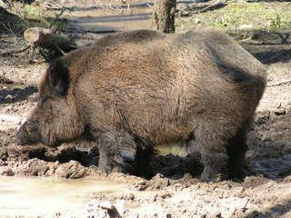 Wildschwein - Wildschwein, Wild, Schwein, Tier, Paarhufer, Säugetier, Borsten