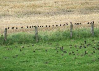 Stare - Vogel, Zugvogel, Teilzieher, Singvogel, Schwarm, Sammelplatz, Futtersuche