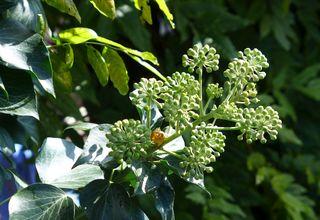 Efeu #1 - Efeu, Hedera helix, Kletterpflanze