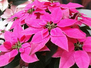 Weihnachtssterne - Weihnachtsstern, Adventsstern, Christstern, Poinsettie, Wolfsmilchgewächs, Hochblätter