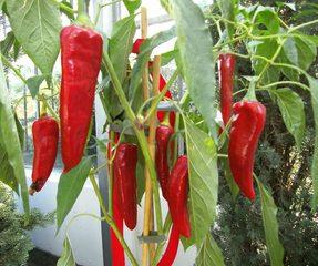 Chilipflanze - Chili, Peperoni, Paprika, Pfefferoni, Nachtschattengewächs, Gewürz, Schote, Chilischote, Chilischoten, scharf