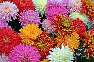 herbstliche Chrysanthemenblüten - Herbst, bunt, Chrysantheme, Chrysanthemen, Korbblütler, Zierpflanze, Herbstpflanze, lila, Blüte, Blüten, Kulturpflanze, Jahreszeiten, Schreibanlass, Meditation, bunt, Impression