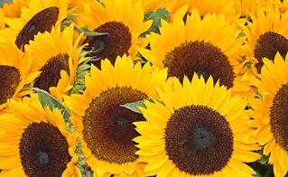 Sonnenblumen Blütenmeer - Sonne, Blume, Sommer, gelb, Sonnenblume, Korbblütler, Blüte, Herbst, blühen, gelb, braun, Impression, Dekoration