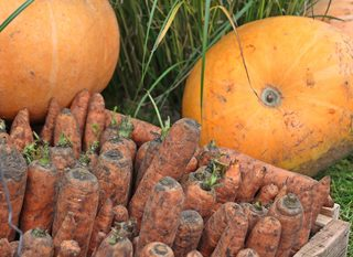 Möhren - Kürbis - Ernte - Herbst, Kürbis, Möhre, Möhren, Karotte, Karotten, Kürbisse, Ernte, ernten, herbstlich, orange, Gemüse