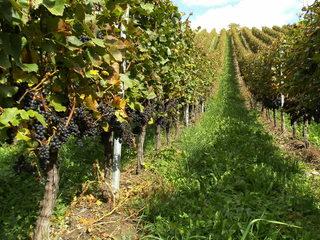Weintrauben - Wein, Traube, blau, Wein, Weinlese, Weinrebe, Reben, Landwirtschaft, Weinbau, Trauben, Weintrauben, Herbst, Weinstock, Weinberg
