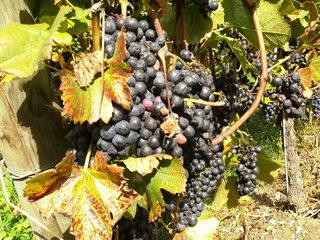 Weintrauben - Wein, Traube, blau, Wein, Weinlese, Weinrebe, Reben, Landwirtschaft, Weinbau, Trauben, Weintrauben, Herbst, Weinstock