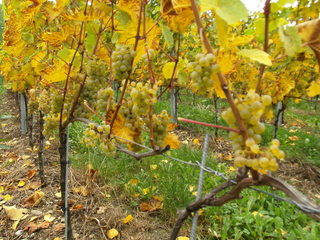 Weintrauben - Wein, Traube, weiß, Wein, Weinlese, Weinrebe, Reben, Landwirtschaft, Weinbau, Trauben, Weintrauben, Herbst, Weinstock