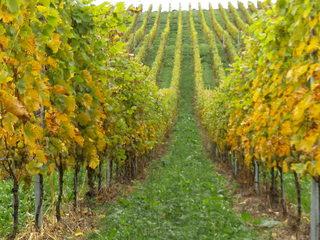 Weintrauben - Wein, Traube, weiß, Wein, Weinlese, Weinrebe, Reben, Landwirtschaft, Weinbau, Trauben, Weintrauben, Herbst, Weinstock, Weinberg