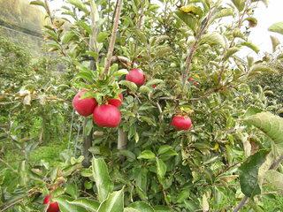 Apfelplantage - Apfel, Äpfel, Kernobstgewächs, Rosengewächs, Obst, Frucht, Herbst, Apfelbaum, Ernte, Apfelplantage