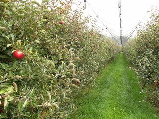 Apfelplantage - Apfel, Äpfel, Kernobstgewächs, Rosengewächs, Obst, Frucht, Herbst, Apfelbaum, Ernte, Apfelplantage, Schutznetz