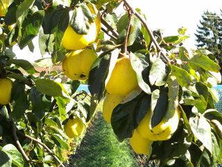 Quitten am Baum - Quitte, Obst, Frucht, Marmelade, Kernobst, gelb, quittegelb
