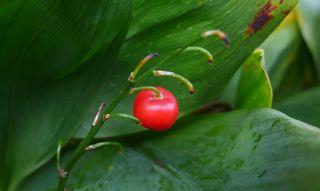 Maiglöckchen - Maiglöckchen, Convallaria majalis, Frucht, rot