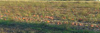 Feld mit Hokkaido-Kürbissen - Kürbis, Speisekürbis, Hokkaido, Gemüse