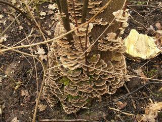 Baumpilz #1 - Pilz, Baumpilz, Schädling, Schmarotzer, Baumschwamm, Parasit, Schwächeparasit, Struktur, Winter, Zersetzer, Totholz, Baumstamm, Fruchtkörper
