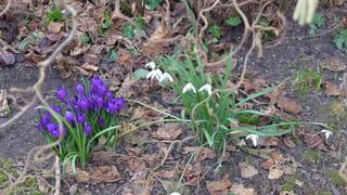 Endlich Frühling - Krokus, Frühblüher, Schwertliliengewächs, Schneeglöckchen, Frühling, Frühjahr, Zwiebelgewächs, weiß, blühen, Blüte, Blüten