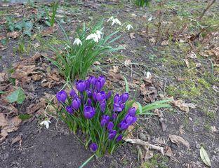 Frühling - Krokus, Frühblüher, Schwertliliengewächs, Schneeglöckchen, Frühling, Frühjahr, Zwiebelgewächs, weiß, lila, blühen, Blüte, Blüten