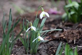 Frühblüher Schneeglöckchen - Schneeglöckchen, Jahreszeit, Frühling, Frühjahr, Frühblüher, Zwiebelgewächs, weiß, blühen, Blüte, Blüten, Pflanze, Blume, Biologie