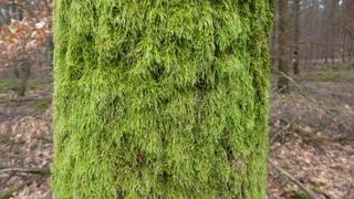 Moosbewuchs #1 - Moos, Wetterseite, Baum, Baumrinde, Rinde, Flechten, grün, Regen, Wind