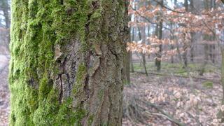 Baumbewuchs mit Moos - Wetterseite, Baum, Baumrinde, Rinde, Moos, Flechten, grün, Regen, Wind, Westen, schlechtes Wetter, Himmelsrichtung