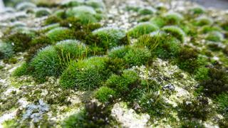 Moosbewuchs - Moos, Bewuchs, Sporen, Sporenkapseln, Landpflanzen, Tortula muralis