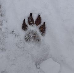 Hundespur - Spur, Hund, Hundespur, Fußabdruck, Fährte, Schnee, Pfote