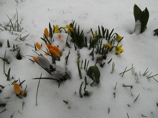 Frühblüher im Schnee - Frühling, Krokus, Krokusse, Frühjahr, Blüte, geschlossen, winterhart, Frühblüher, Blüten, Blumen, Schnee, Schwertliliengewächse, Osterglocken