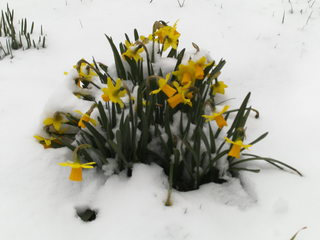 Osterglocken im Schnee - Narzisse, Narcissus, Osterglocke, Gattung der Amaryllisgewächse, einkeimblättrig, gelb, Zwiebelgewächs, Schnittblume, blühen, Blüte, Ostern, Frühjahr, Frühling, Frühblüher, Schnee
