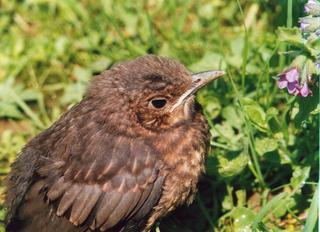 Junge Amsel - Amsel, kleiner Vogel, junger Vogel, Vogel, Jungvogel, jung, Nestling, flügge, Schreibanlass