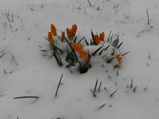 Krokusse im Schnee - Frühling, Krokus, Krokusse, Frühjahr, Blüte, geschlossen, winterhart, Frühblüher, Blüten, Blumen, Schnee, Schwertliliengewächse