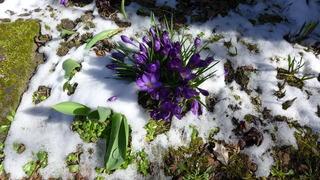 Krokusse  - Frühling, Krokus, Krokusse, Frühjahr, Blüte, geschlossen, winterhart, Frühblüher, Blüten, Blumen, Schnee, Schwertliliengewächse
