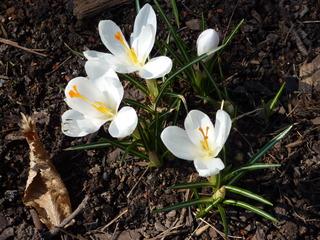 Krokusse - Frühling, Krokus, Krokusse, Frühjahr, winterhart, Frühblüher, Blüten, Blumen, Schwertliliengewächse, Iridaceae, Staubgefäß, Blütenblatt, weiß, Pflanze
