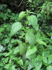 Brennnessel - Brennnessel, Unkraut, grün, Tautropfen, Heilpflanze