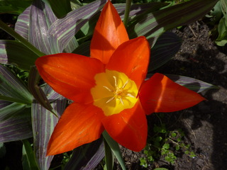 Tulpe - Frühling, Frühjahr, Frühblüher, Tulpe, Blüte, Zwiebelgewächs, Tulipa, Liliengewächs, Zwiebelblume, Griffel, Narbe, Staubgefäße, Schnittblume, Blüte