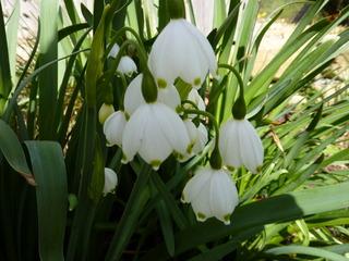 Märzenbecher - Märzenbecher, Märzbecher, Märzglöckchen, Frühlingsknotenblume, Frühling, Frühblüher, Zwiebelgewächs, Frühjahr, weiß, Büte, Knospe, Blatt