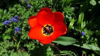Tulpenblüte - Blütenstempel, Tulpe, Fruchtblätter, Blüte, Fruchtknoten, Samenanlage, Griffel, Narbe Frühblüher